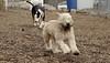 Hank (pup), Bud (bull terrier)_00006