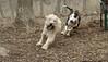 Hank (pup), Bud (bull terrier)_00008