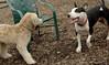 Hank (pup), Bud (bull terrier)_00004