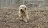 Hank (pup wheaten)_00001