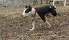 BUD (bull terrier)_00002