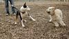 Hank (pup), Bud (bull terrier)_00002