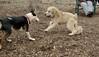 Hank (pup), Bud (bull terrier)_00009