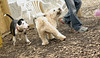 Hank (pup), Bud (bull terrier)_00001