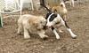 Hank (pup), Bud (bull terrier)_00010