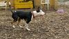 BUD (bull terrier)_00001