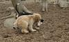 Hank (pup), Bud (bull terrier)_00003