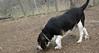 Buster (beagle)_00001
