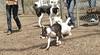Cleo (boston terrier, boxer)_00001