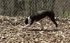 Cleo (boston terrier, boxer)_00002