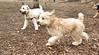 cooper (wheaten), Hank (wheaten pup)_00005