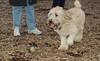 Hank (wheaten pup)_00003