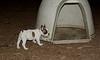 boston terrier puppy_00006