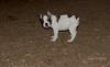boston terrier puppy_00005