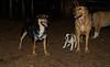 boston terrier puppy_00002
