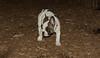 boston terrier puppy_00001