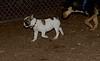 boston terrier puppy_00003