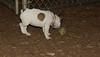 boston terrier puppy_00004