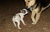 boston terrier puppy_00008