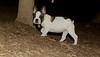 boston terrier puppy_00007