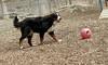 bernese mountain dog_00002
