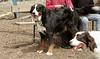 bernese mountain dog_00001
