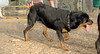 Jackie (young rottie girl)_00003