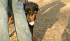 Jackie (young rottie girl)_00002