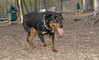 Jackie (young rottie girl)_00004