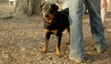 Jackie (young rottie girl)_00001