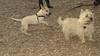 Simba (puppy), rocky (cairn)_00001