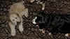 Lola, Hank (puppy)