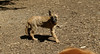 bentley (puppy)_004