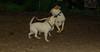 lily ( new puppy dane), Leila (puppy)_001