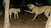 lily ( new puppy dane), Leila (puppy)_002