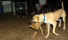lily ( new puppy), Jack (ridgeback pup)_001