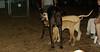 Lily ( puppy dane), Jack (ridgeback pup), Harley_001