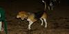 Fluffy (beagle pup)_001
