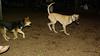 lily ( new puppy dane), Maddie_001