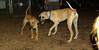 lily ( new puppy), Jack (ridgeback pup)_002