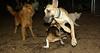 lily ( new puppy), dakota, leila, chelsea_001