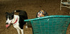 Charlie & jack ( boy pup)_001