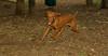 Cleo ( puppy viszla)_003
