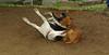 Cleo (puppy), Jack (boy pup)_001