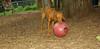 Cleo ( puppy viszla)_004