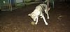 Cheyenne (natve american dog)(7mo)_004
