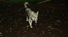 Cheyenne (natve american dog)(7mo)_006
