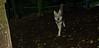 Cheyenne (natve american dog)(7mo)_005