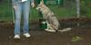 Cheyenne (natve american dog)(7mo)_003