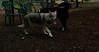 Cheyenne (natve american dog)(7mo)_001